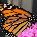 Newly emerged Monarch at the Water Conservation Garden