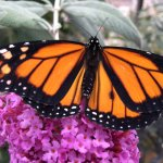 There is a way to tel that this Monarch is a male.