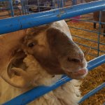 One of the livestock you will see at the fair this year.