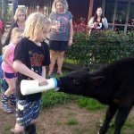 Guests feeding our calf