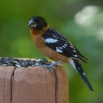 One of the beautiful birds that visited ... black-headed grosbeak