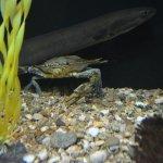 Crab making its way along edge of tank pushing eel out of its way.