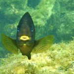 Damselfish were numerous and eager to chase off any intruders, fish or human.