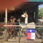 The Alpacas at Old Irish B&B