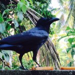 I miss this crow :(!!! Woke me up every morning for food !!! Loved him very much:-)