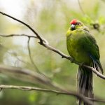 Red-Crowned Parakeet, checking out the visitors