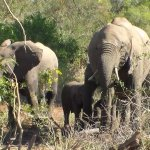 Elephants grazing near Satara Rest Camp
