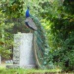 Peacock on Stone