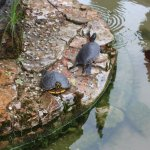 Turtles in the small pond in Palazzo Giardino Giusti
