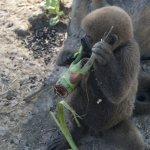 Шерстистая обезьяна