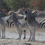 Zebra at Laroo La Tau