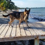 Ms Rocky loves to play fetch the coconut off the pier
