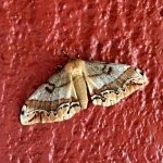 Moth outside