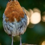 An Iken robin posing on the wall outside Gardeners cottage.