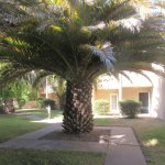 Large Palm Tree By Room,  Best Western Plus Wine Country Inn and Suites, Santa Rosa, CA