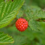 Salmonberry. Give it a try!