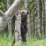 Brown bear photographed from hide