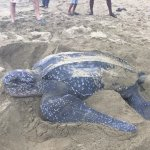 Leatherback turtle laying her eggs