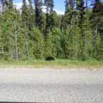 Tom stopped and we were able to take photos of black bear. We also saw a Brown bear