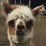 Meet Brian the Alpaca