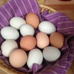 Eggs from our Gallinas!