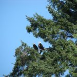 Seal Point Cottage eagles
