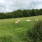 Sheep in the Cottage meadow