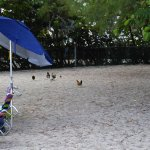 Sharing the beach wth the resident Chickens!