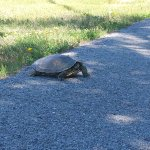 Turtle on the path