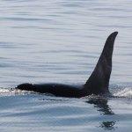 Alaska Seward Kenai Fjord Boat Tour Orca