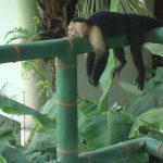 Monkey is relaxing at our balcony