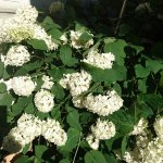 紫陽花が白です。