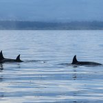 We passed many Orcas travelling in pairs and groups, including others with young orcas.