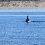 Fin of a male orca travelling fast. Others were seen spy-hopping and belly waving!