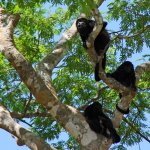 Howler monkeys in trees along water - Palo Verde Boat Tour