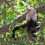 White Face Monkey - Palo Verde Boat Tour