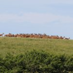 Large herd of red deer