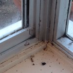 Hundreds of dead flies & cobwebs are littered all along the dining room window cill. These bad b