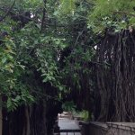 Banyan tree next to an old temple in the grounds