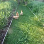 Our AWAY chickens on the garden path!