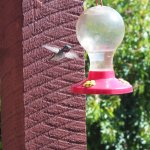 Hummingbirds feed at breakfast