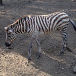 One of two kinds of zebras they have there, Damara and Grant's!
