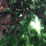 Un petit aperçu du cabinet de verdure que forme le rare et vieux Sophora japonica pleureur