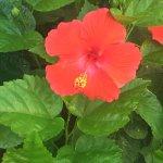 Hibiscus near pool!