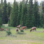 Elk herd just south of Jasper