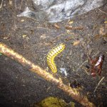 Big centipede