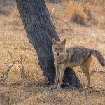 Indian jackal
