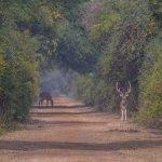 Spotted deer on the mud tracks