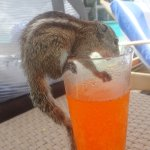 Chipmunks in your drink