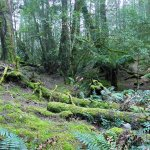 Moss laden forest on the track to Ralphs falls